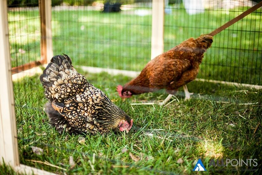 Pet-Industry-Becoming-Humane-Chicken-Coop.jpg